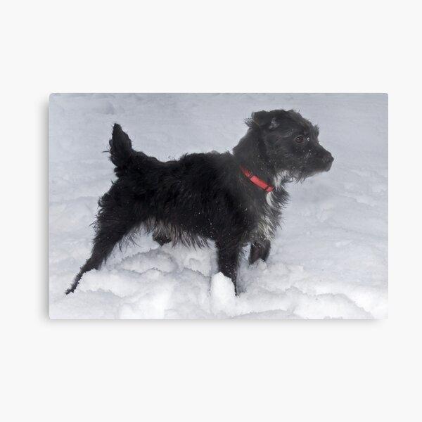 Bailey - The Patterdale Terrier Metal Print