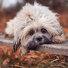 Lhasa apso in autumn by Pokofoto