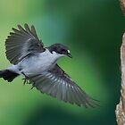 Pied flycatcher in flight by Sue Purveur