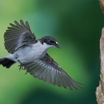 Pied flycatcher in flight by Mortimer123