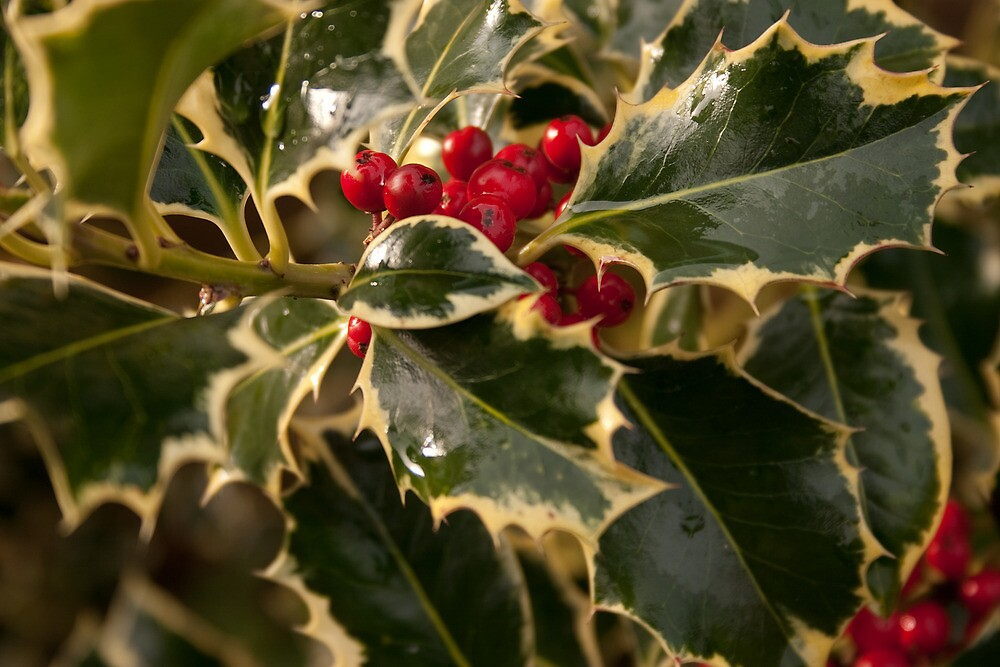 Holly and Berries by Squawk