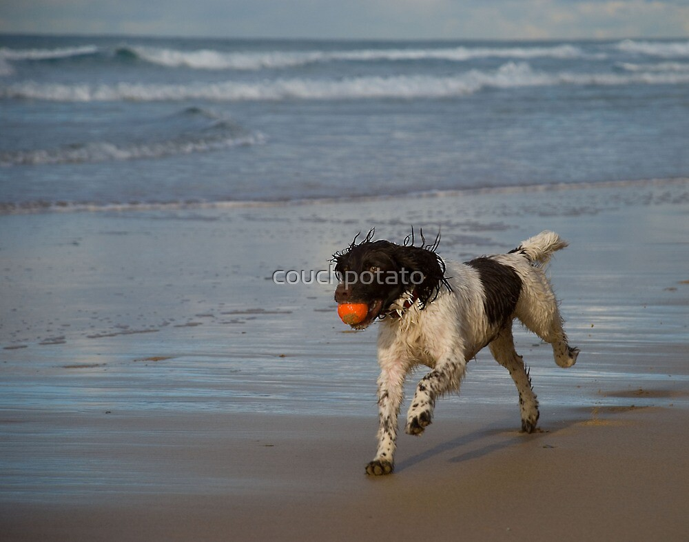 Springer Spaniel on the beach by couchpotato