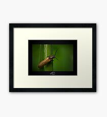 Soldier Beetle (Female) Framed Print