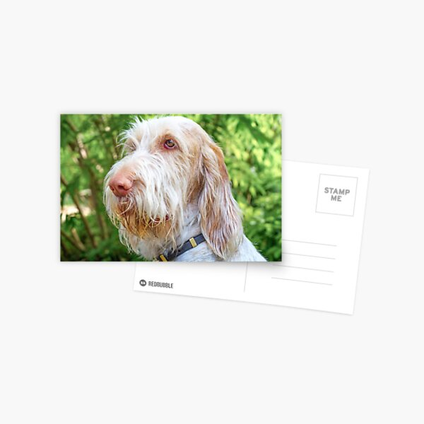 Orange and White Italian Spinone Dog Head Shot Postcard