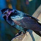 Grackle in Bright Sunlight by TJ Baccari Photography
