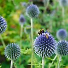 The Buzz in the Garden Blue Globe Flowers by John Kelly Photography (UK)