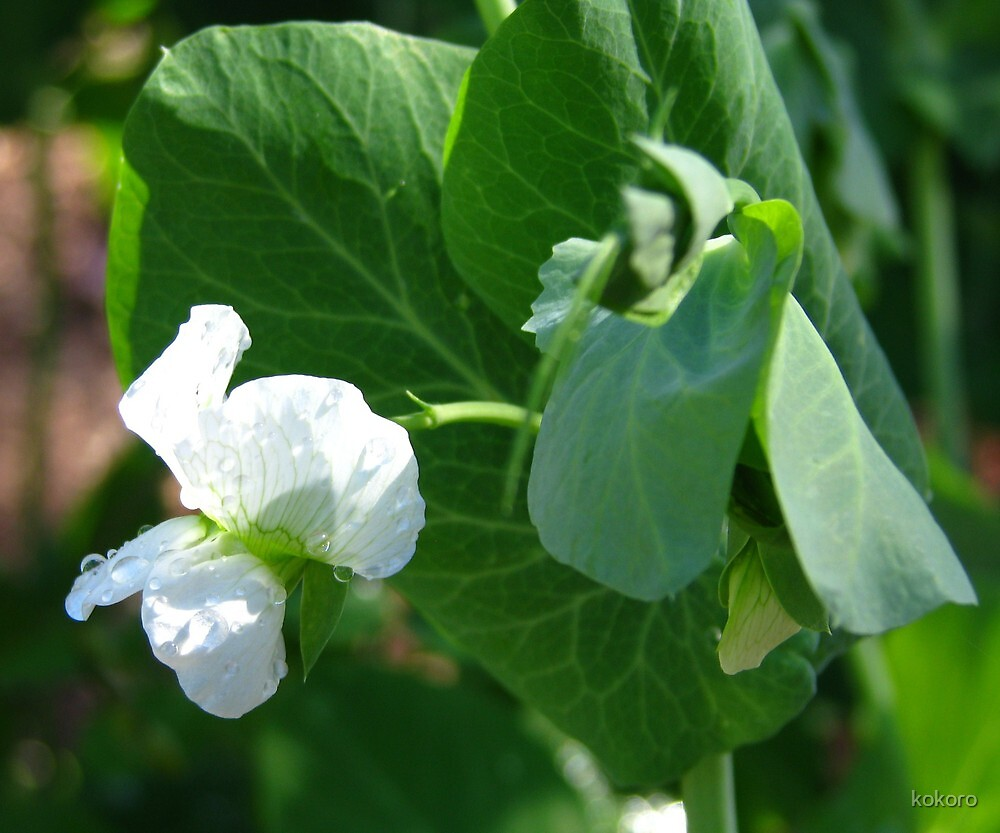 Snow Pea Flower with water droplets by kokoro