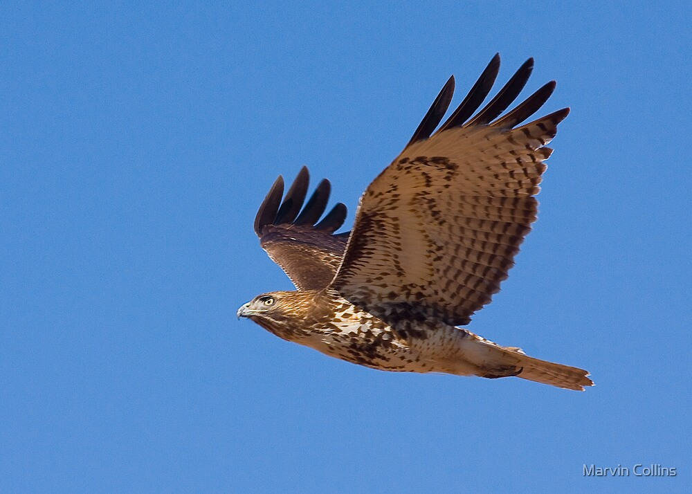 1225091 Red Tailed Hawk by Marvin Collins
