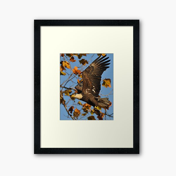 Eagle With Fish, My first Capture Framed Art Print