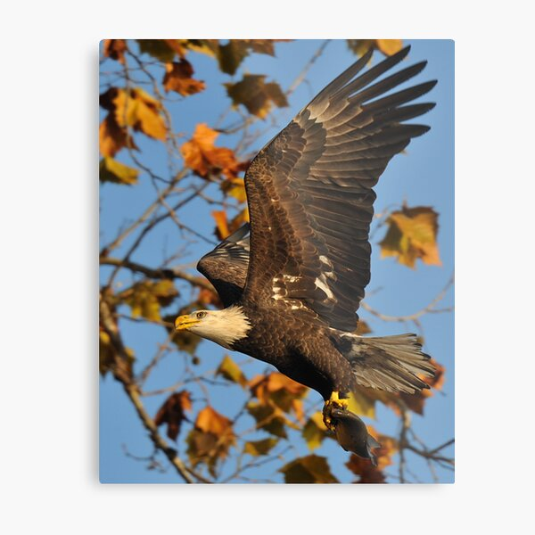 Eagle With Fish, My first Capture Metal Print