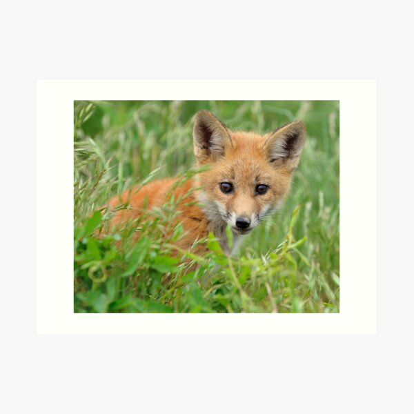 Red Fox Kit Art Print