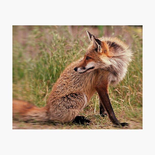 Red Fox Mom  Photographic Print