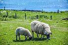 Iona Sheep, Isle of Iona, Scotland by Beth A.  Richardson