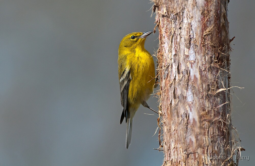 Winter Warbler by Bonnie T.  Barry