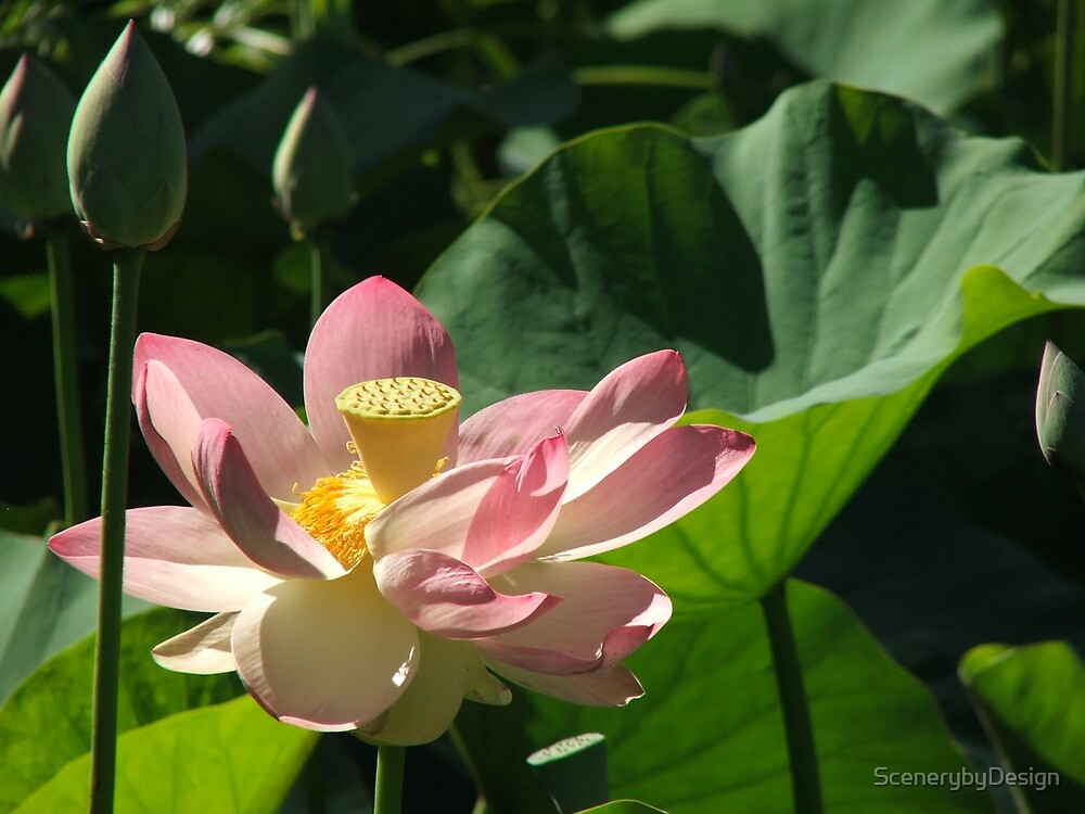 Waterlily (4165) by ScenerybyDesign