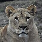 Lone Lioness by DonnaM