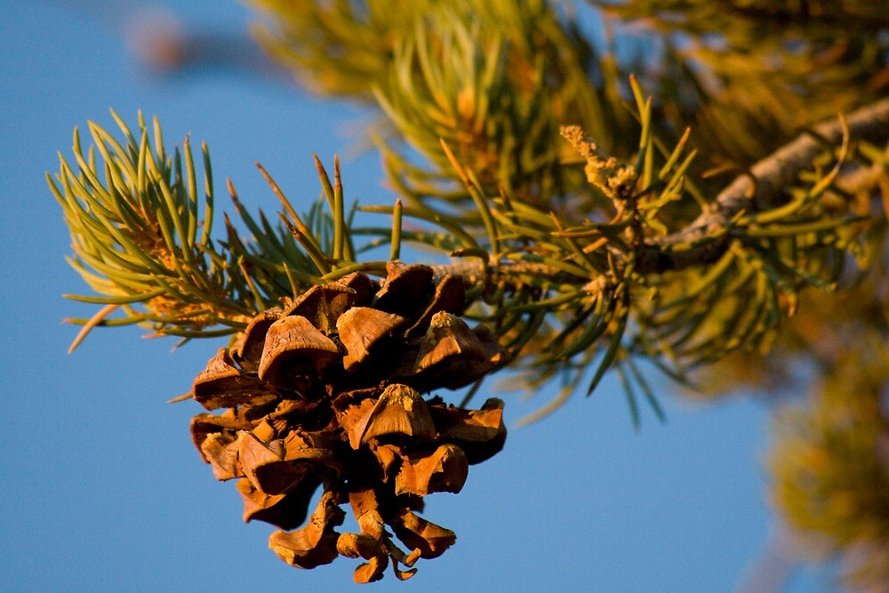 Pine Cone Detail by MikeAntares
