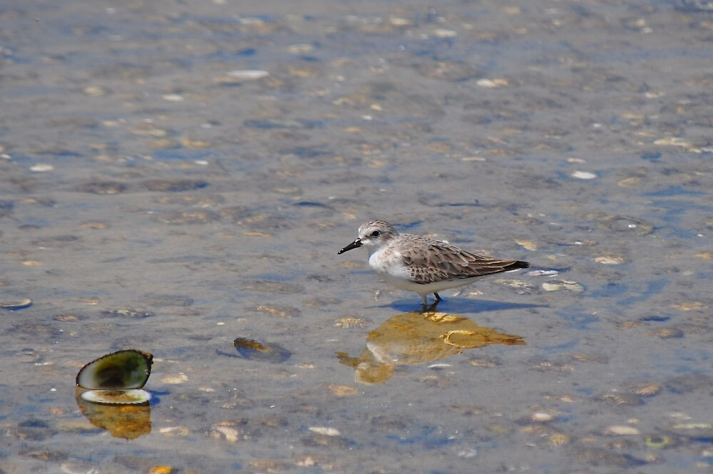 Solo a Red Necked Stint by Jackie  Smith