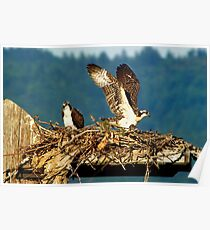 Maiden Flight - Osprey Chicks Leaving The Nest Poster