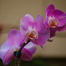 Orchids Three by autumnwind
