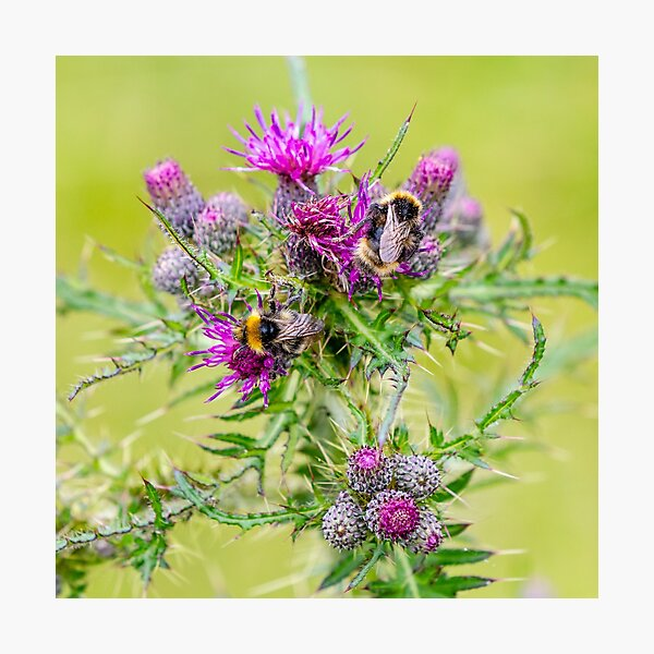 Bumble bees on a thistle Photographic Print
