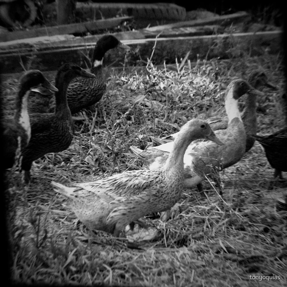 Farm Ducks by tonyoquias