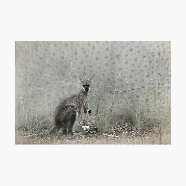Wallaby Tea Time Photographic Print