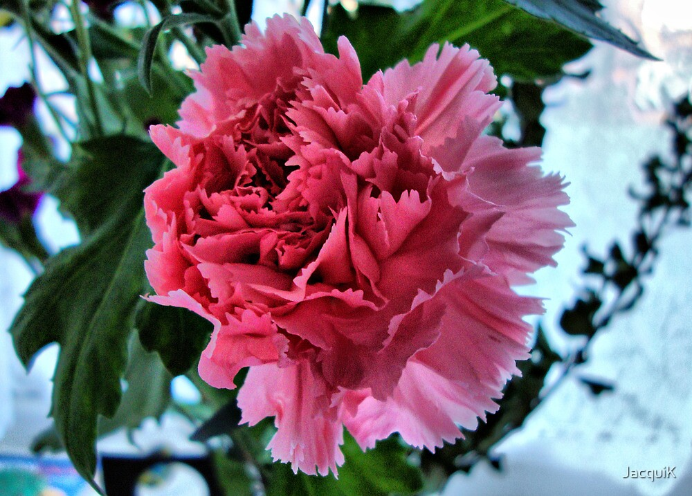 Pink Carnation by JacquiK