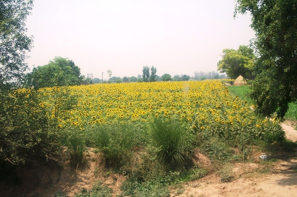 Punjabi Sunflowers by Angie Spicer