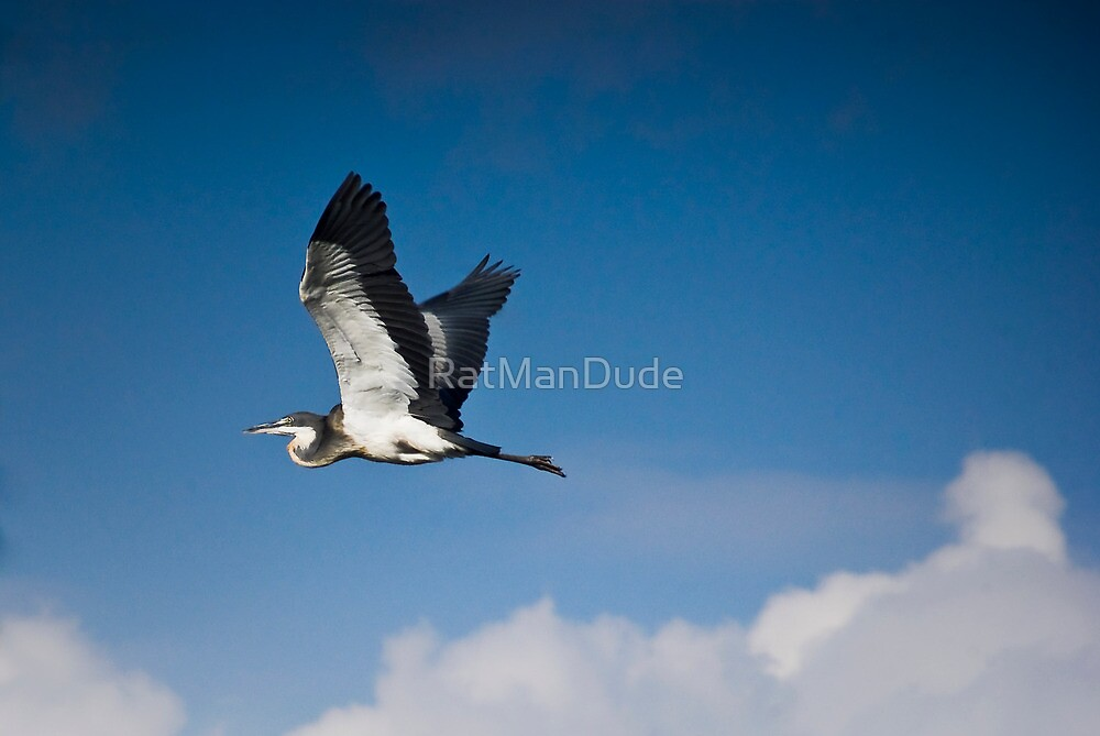 Black Headed Heron in Flight by RatManDude