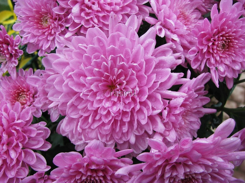 Pink Chrysanthemums by rasim1