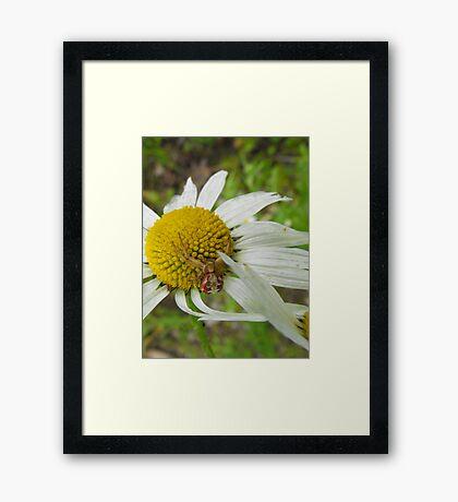 Crab Spider On A Daisy Framed Print