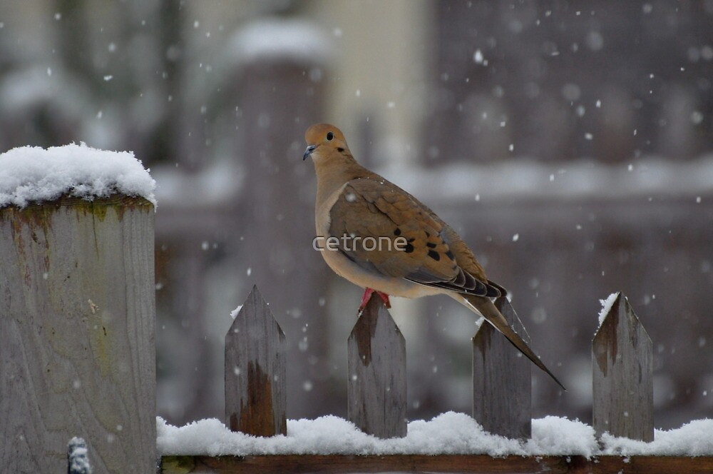 mourning dove in snow fall by cetrone