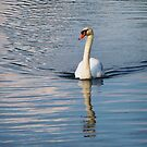 Swan Reflection by Diana Forgione