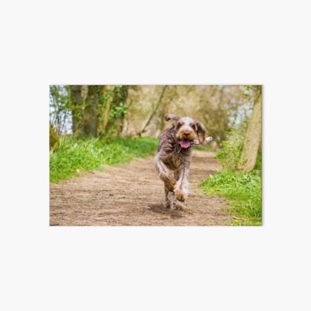 Running along a path Spinone Art Board Print