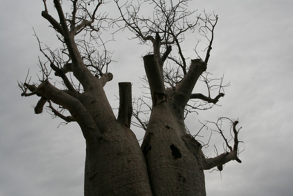 boab tree, King's Park, Perth 2 by margc