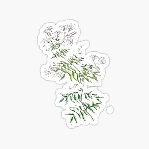 Jasmine Flowers, Illustration Sticker