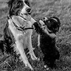 Border collie puppy pestering older sibling by Clare Gelderd