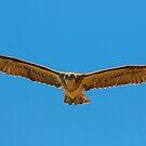 Osprey, homing in.. by Peter Doré