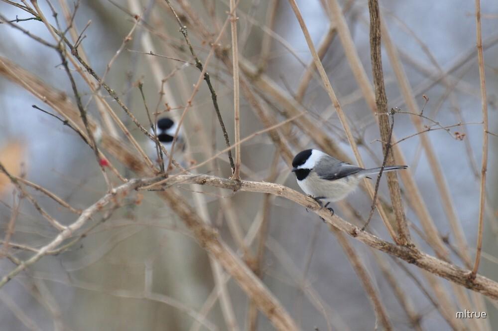 Chickadee on bare branch by mltrue