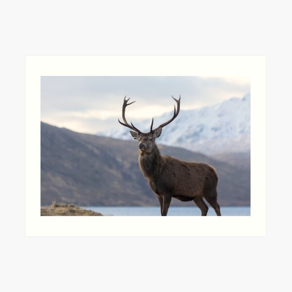 Red Deer Stag in Highland Scotland Art Print