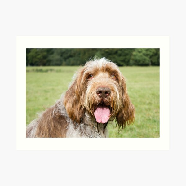 Smiling in the sunshine Spinone Art Print