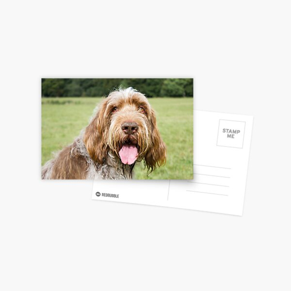 Smiling in the sunshine Spinone Postcard