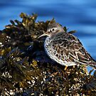 Purple Sandpiper: I stand alone by lloydsjourney