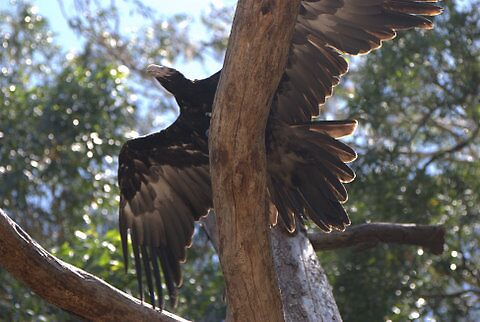 Wedge Tailed Eagle by Helen Greenwood