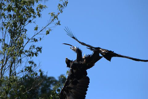 Wedge Tailed Eagle fight by Helen Greenwood