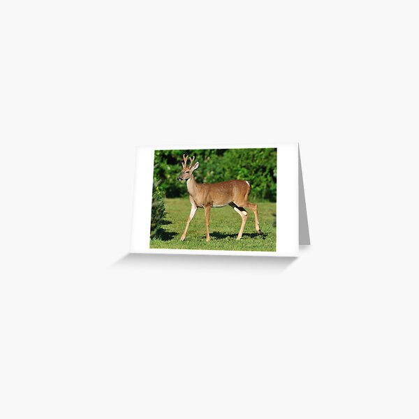 Buck Strolling Around Greeting Card