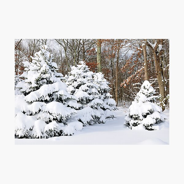 Snowy Pines Photographic Print