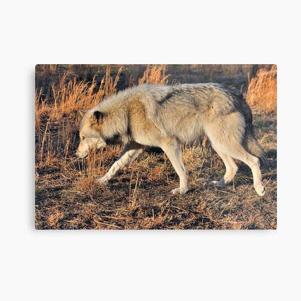 Ahote the Wolf Hybrid Metal Print