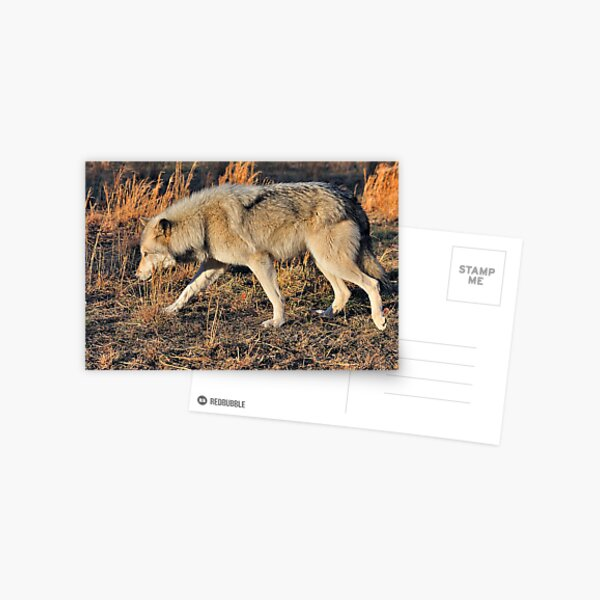 Ahote the Wolf Hybrid Postcard